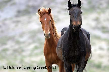 Ceal and sorrel yearling