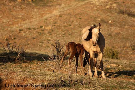 Luna\'s filly nursing