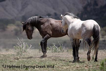 Comanche and Grey