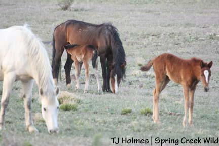 Mares and foals
