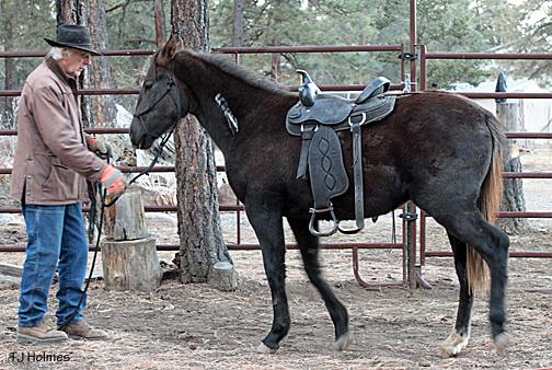 Asher backs up with the saddle on.