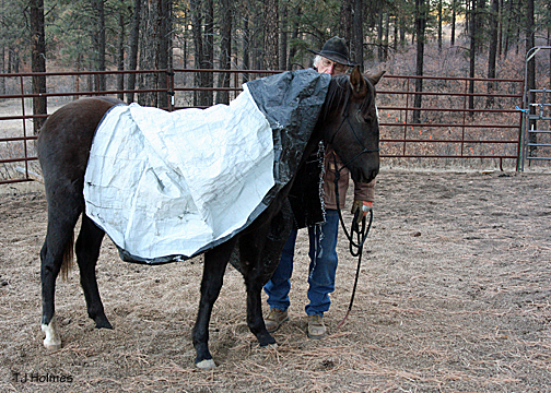 Vern puts a tarp on Asher's back. Asher is completely unphased.