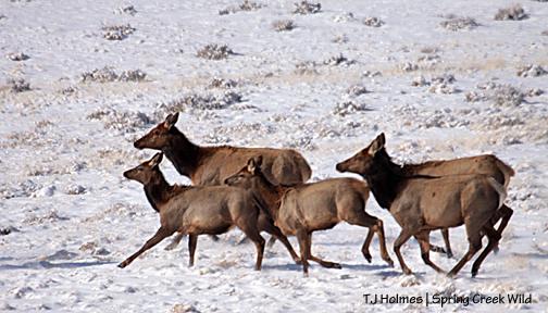 Elk in Spring Creek Basin
