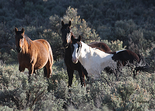 """Grey"" and white pinto stallion's mares."