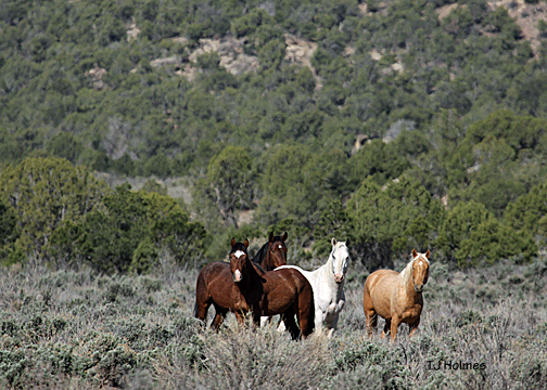 Young bachelor stallions in sage flats, La Fragua Canyon.