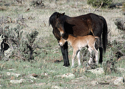 Mare and foal on the Jicarilla Wild Horse Territory.