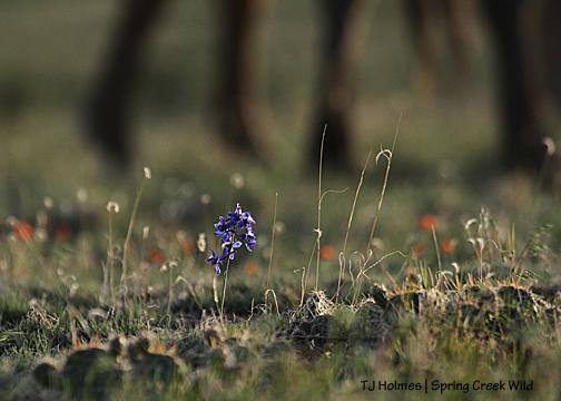 Larkspur, globe mallow, grama grass and mustang legs