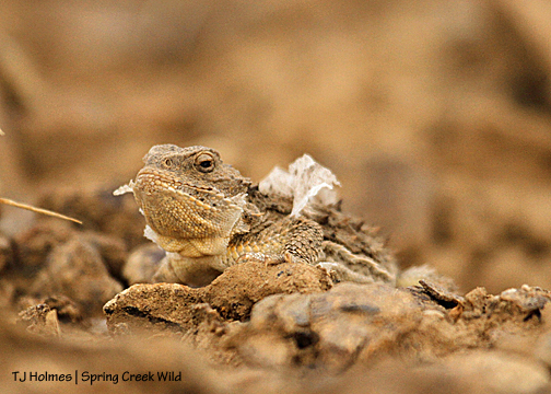 Horny toad in Spring Creek Basin.