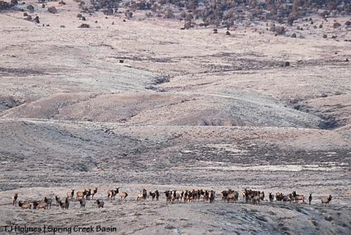 Elk herd in Spring Creek Basin.