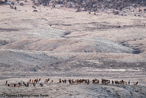 Elk herd in Spring Creek Basin.