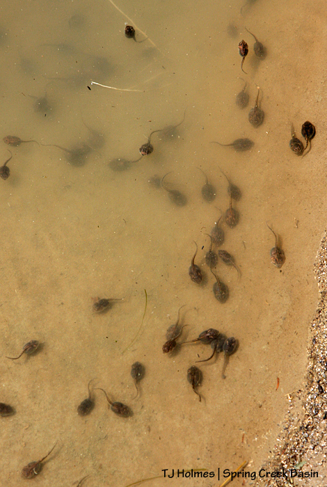 Tadpoles in the east-pocket pond!