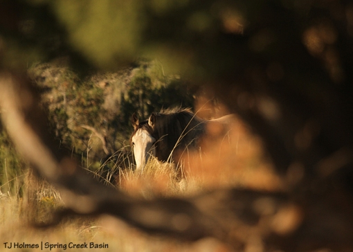 Kestrel through the branches of a juniper.