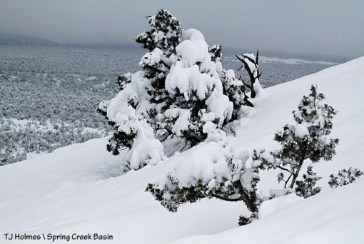 Snow-covered juniper in Spring Creek Basin.