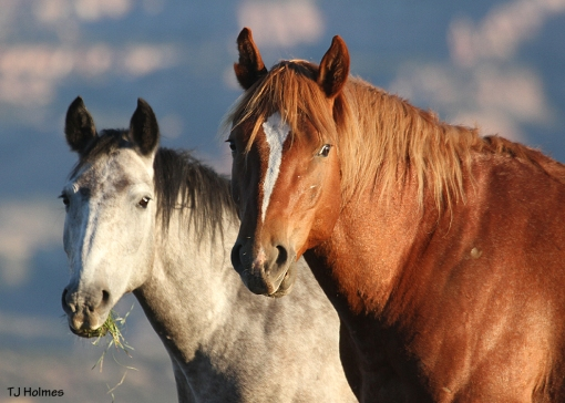 Drummer and Kestrel, stallion and mare in Little Book Cliffs Wild Horse Range.