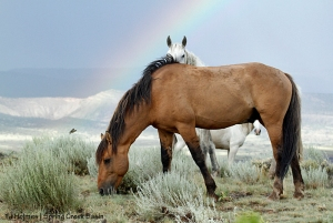 Hollywood, Alegre and Houdini (barely seen in back) under a rainbow in Spring Creek Basin.