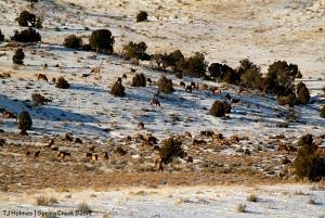 Elk in Spring Creek Basin.
