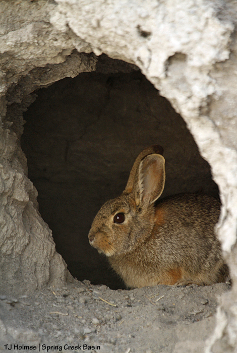 Bunny rabbit in an arroyo-wall den.