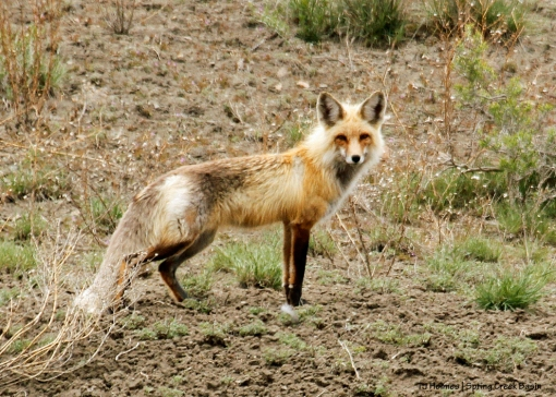 Fox in Spring Creek Basin