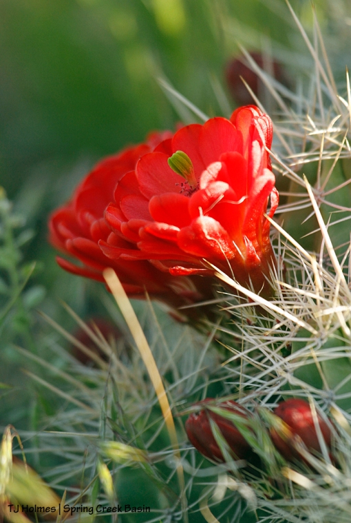 Claret cup cacti blooms.