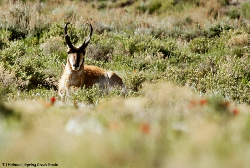 Pronghorn buck in Spring Creek Basin.