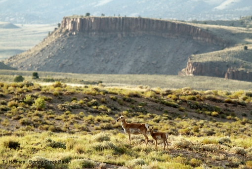 Pronghorn doe and fawn in Spring Creek Basin.