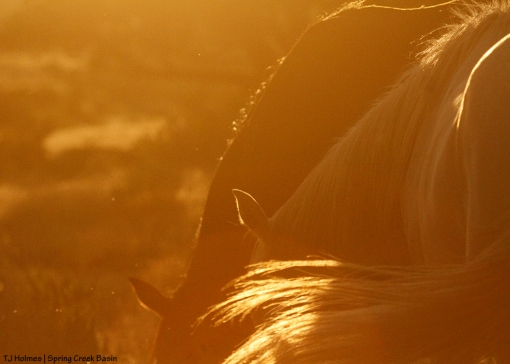 Mares in sunset light