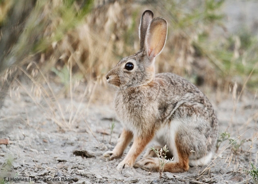 Cottontail rabbit in Spring Creek Basin