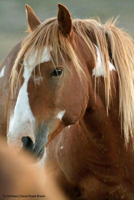 Sorrel-and-white pinto stallion in Sand Wash Basin.