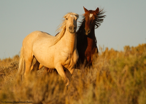 Bachelor stallions in Sand Wash Basin.