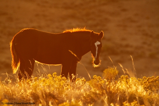Sorrel foal at sunrise in Sand Wash Basin.