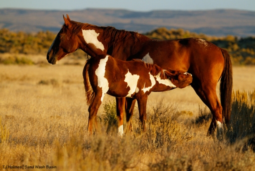 Pinto mare and foal in Sand Wash Basin.