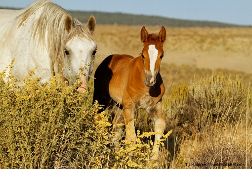 Mare and colt in the band of a blue-eyed sorrel stallion in Sand Wash Basin.