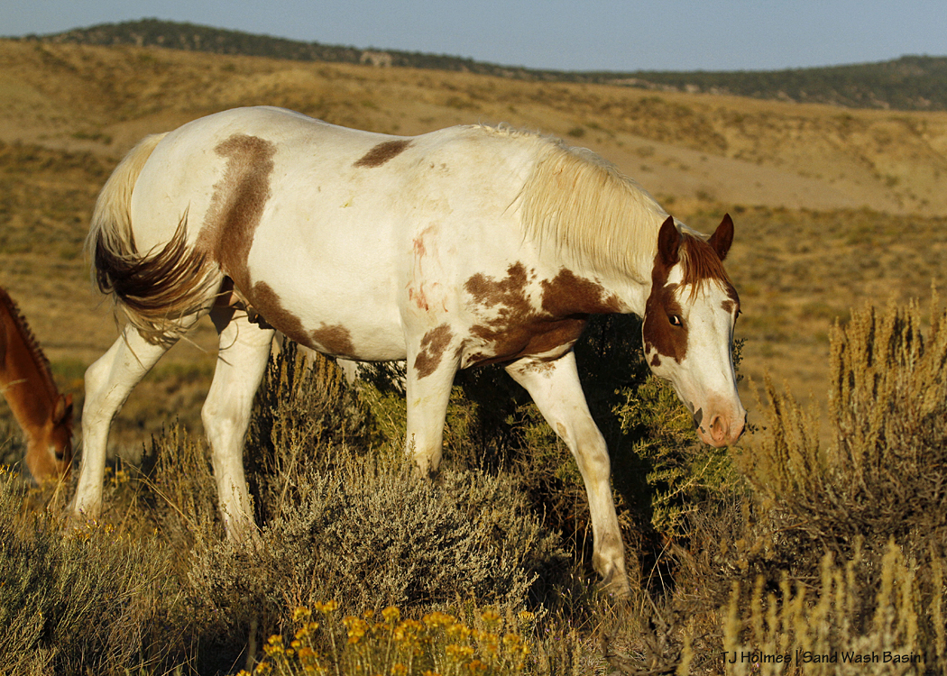 Young pinto stallion in Sand Wash Basin.