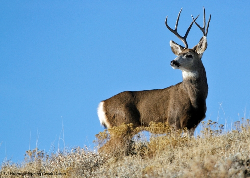 Mule deer buck in Spring Creek Basin.