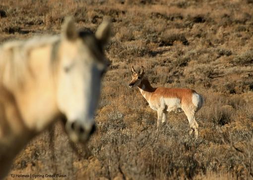 Piedra and pronghorn doe in Spring Creek Basin.