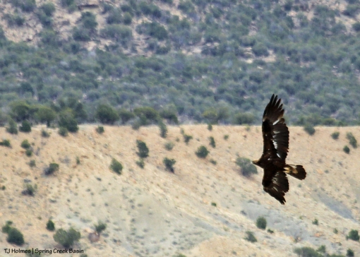 Juvenile golden eagle in Spring Creek Basin.