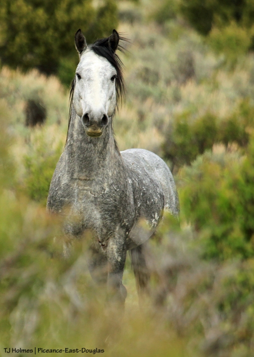Young grey stallion by himself in Piceance-East Douglas Herd Management Area.