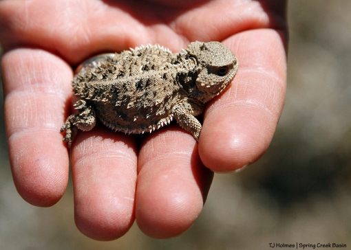 Horny toad held by BLM wildlife biologist Nate West in Spring Creek Basin.