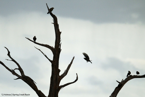 Birds on a dead juniper tree in Spring Creek Basin.