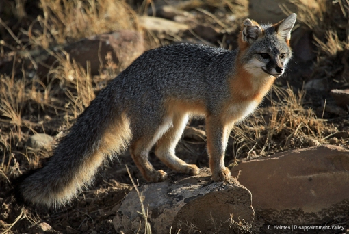 Fox - common gray fox