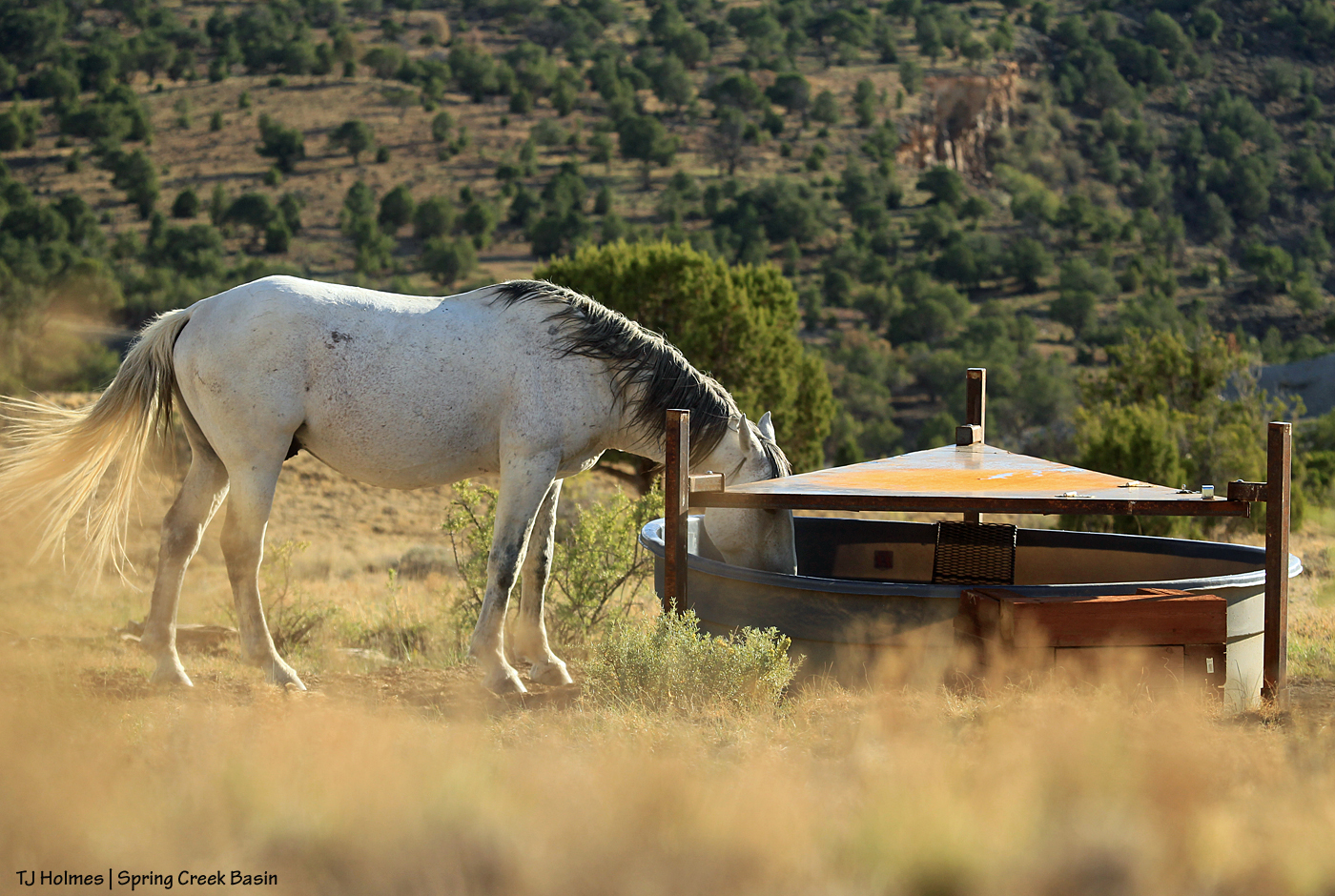 Comanche drinking at the corral catchment.