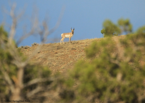 Pronghorn buck on corral hill.