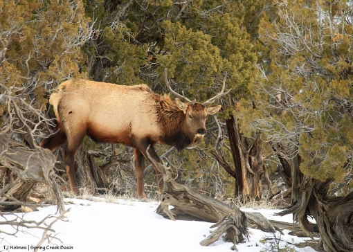 Bull elk, Spring Creek Basin