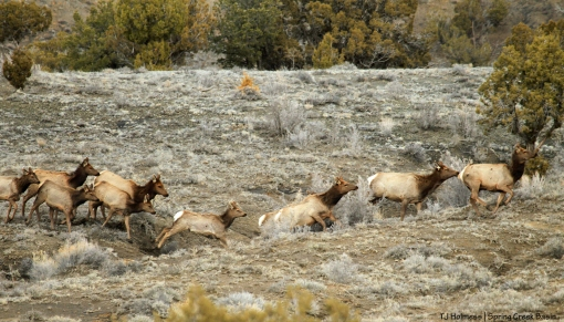 Elk in Spring Creek Basin.