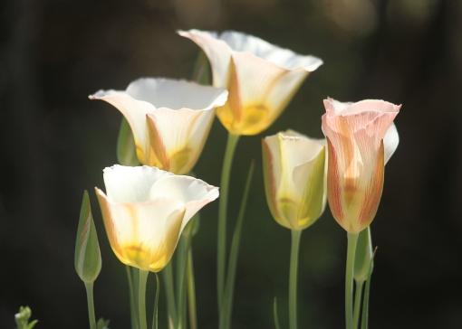 Sego lilies in Spring Creek Basin.