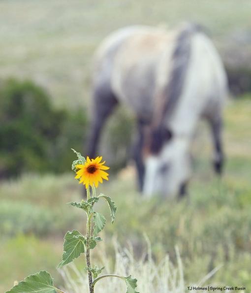 Seneca with sunflower
