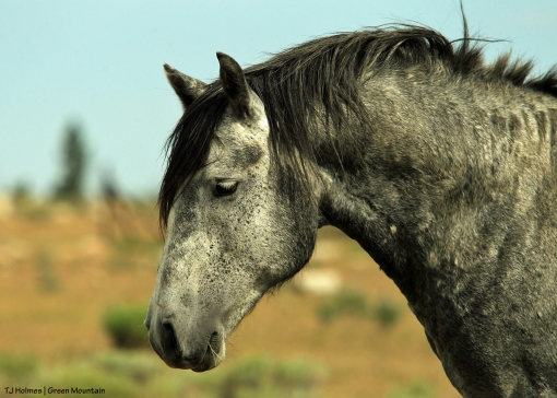 Dark grey stallion on Green Mountain, Wyoming.