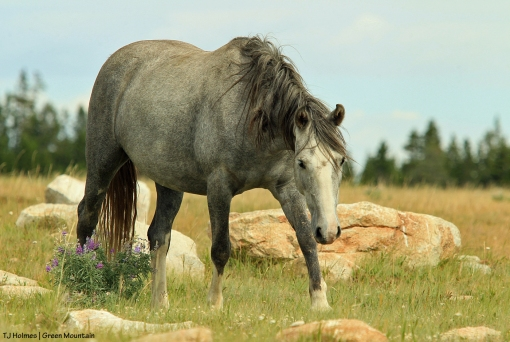 Pretty grey mare in light-grey stallion's band on Green Mountain, Wyoming.