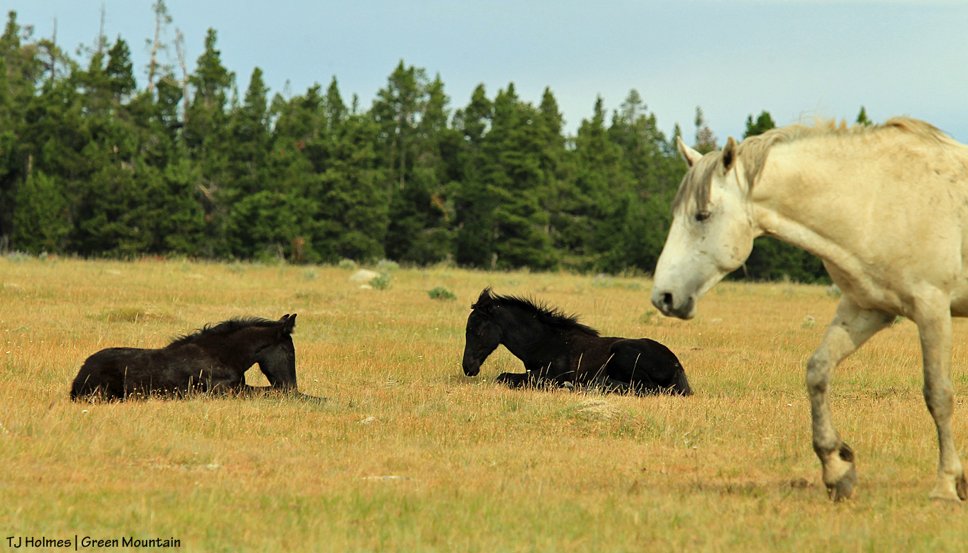 Grey stallion with napping babies on Green Mountain, Wyoming.