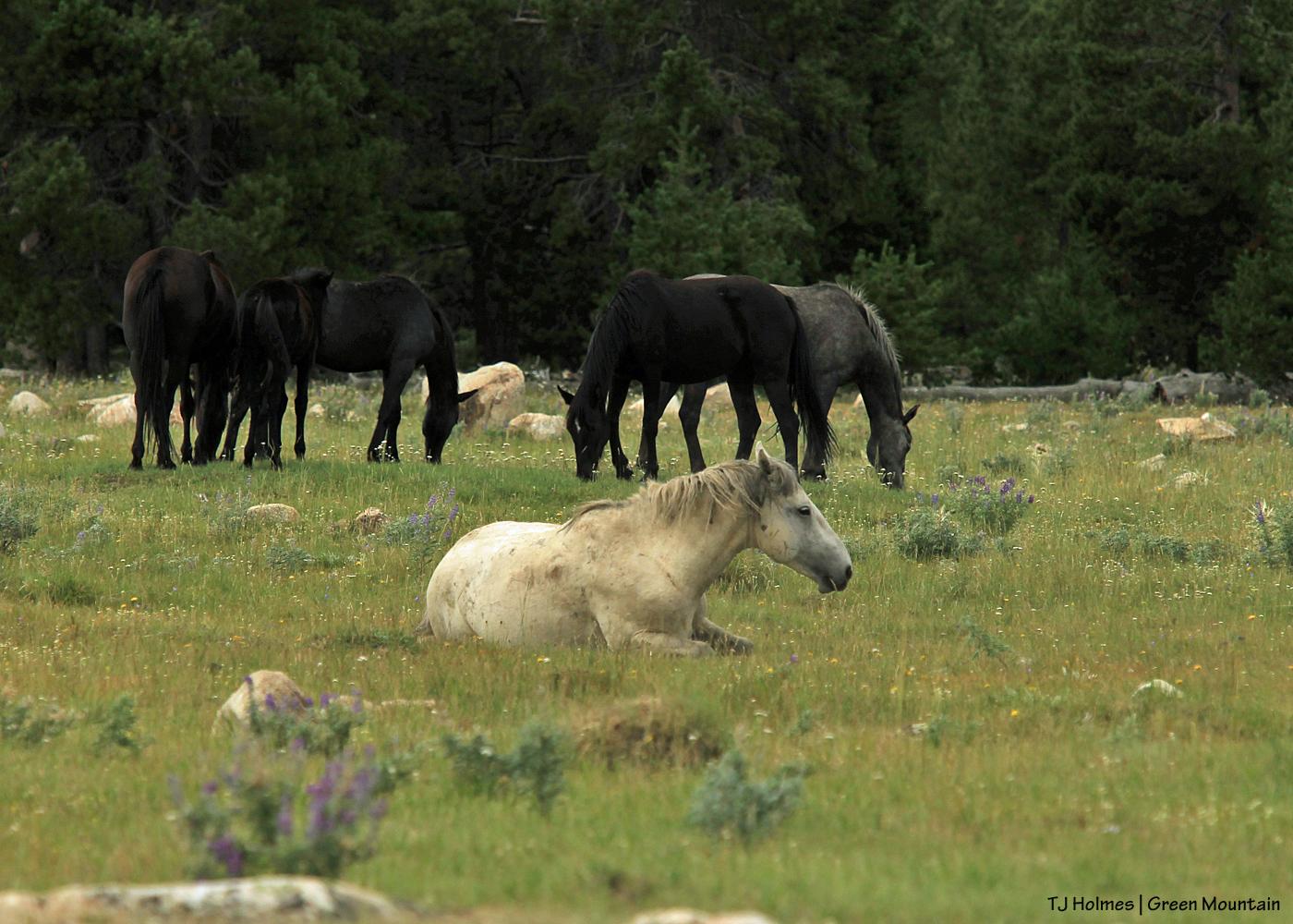 Grey stallion with big band on Green Mountain, Wyoming.